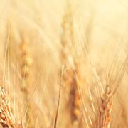 El centeno, el cereal antiguo que está de moda
